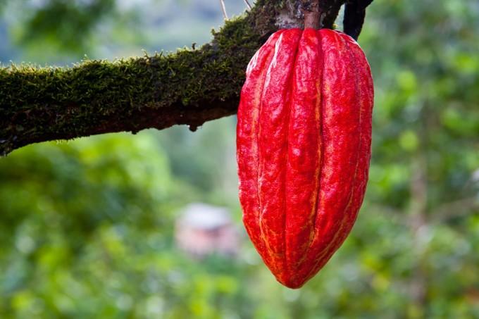 cacao_sm